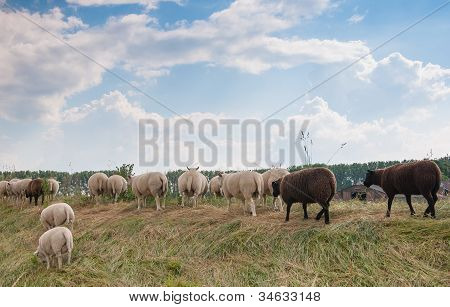 Backsides Of Sheep On A Dutch Dike