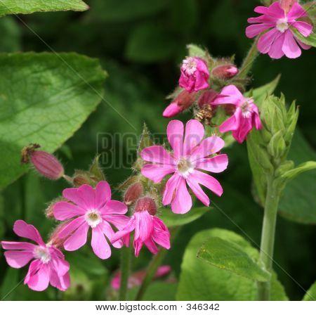 Red Campion Wild Flowers