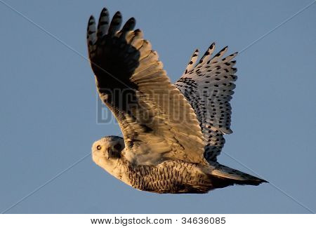Snowy Owl in flight at dawn