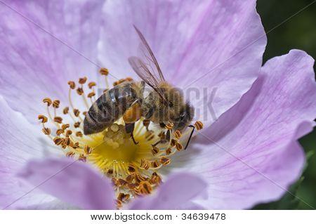 Wasp Collectiing Polen