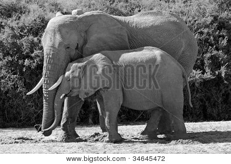 Mother Elephant Snuggles with her Baby in Africa