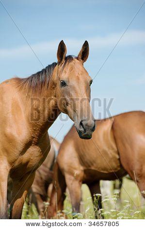 Purebred Horse In Herd