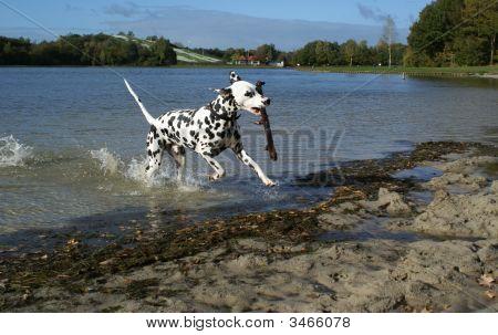 Dalmatian Dog Having Fun.