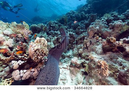 Giant moray and tropical reef in the Red Sea.
