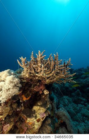 Acropora and tropical reef in the Red Sea.