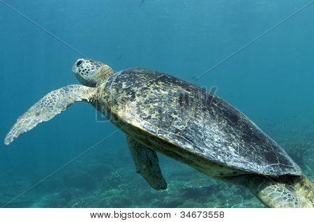 Sipadan Turtle Swimming