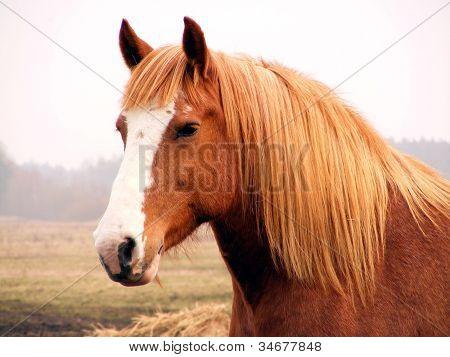 Retrato de cavalo Palomino