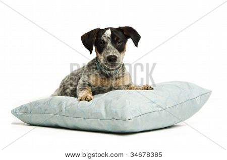 Cute terrier puppy on a cushion