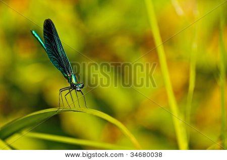 Beautiful demoiselle Calopteryx virgo