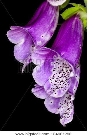 Purple Foxglove,  Medicine Plant