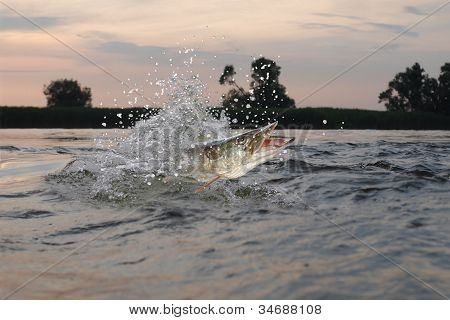 Pike In River