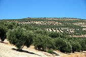 View Of Olive Groves In The Mountains, Ubeda, Andalucia, Spain. poster