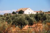 View Of Olive Groves With A Finca To The Rear, Ubeda, Andalucia, Spain. poster