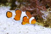 stock photo of clown fish  - Clown fish - JPG