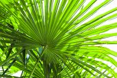 Tropical Palm Leaf Background, Coconut Palm Trees Perspective View.  Palm Leaves  Isolated On White  poster