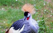 Portrait Of A Beautiful Crowned Head Crane. The Black Crowned Crane Balearica Pavonina , Also Known  poster