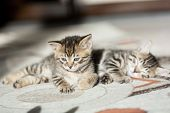 Two One Month Old Bengal Kittens Lying On Carpet Sleeping And Having Rest poster