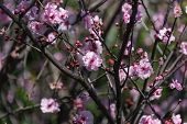 Tree Branch With Blooming Pink Cherry Flowers. Springtime Floral Nature Background poster