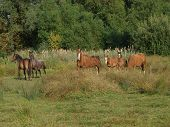 A Small Herd Of Welsh Cob Mares And Foals In A Summer Paddock. poster