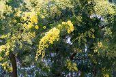 Blooming Acacia Farnesiana In Springtime. Acacia Farnesiana Or Vachellia Or Mimosa Are The Names Of  poster