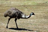 stock photo of ostrich plumage  - an emu near williamstown - JPG