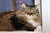 Fluffy Cat At Home. Pet-norwegian Forest Cat. poster