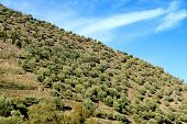 Big Olive Grove On A Slope Near Porto In Portugal poster