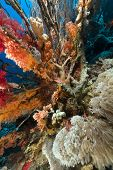 picture of hawkfish  - Longnose hawkfish and tropical reef in the Red Sea - JPG