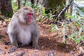 Japanese Monkey In Bamboo Forest , His Posture Turn Face To Left Look At Something, Japanese Monkey  poster
