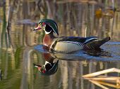 picture of cattail  - Drake Wood Duck swimming in cattails with reflection on the water - JPG