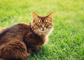 Purebred Somali Cat In The Grass Outside. poster