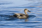 picture of gadwall  - Swimming Gadwall Drake on an icy pond - JPG