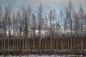 An Early Winter Evening In The Birch Grove, Puumala, Finland poster