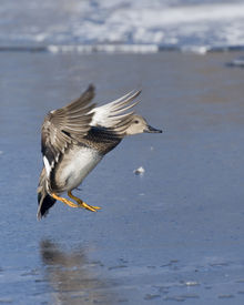 foto of gadwall  - Drake Gadwall in flight about to land on thin slippery ice