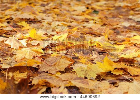 Vibrant Yellow Maple Leaves