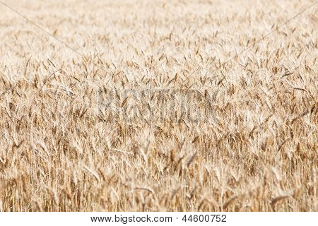 Barley Field Background