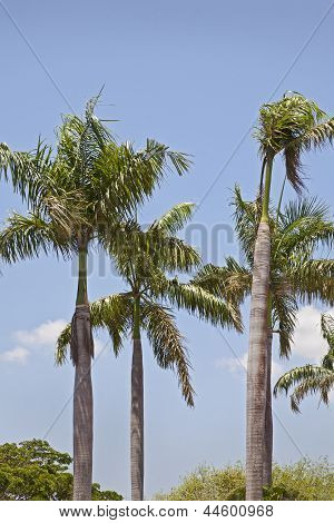 Royal Palm Trees On A Blue Sky