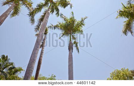 Arragement Of Royal Palm Trees Blue Clear Sky