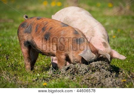 little pig in a mud