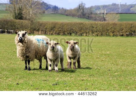 Rare Breed Sheep And Lambs