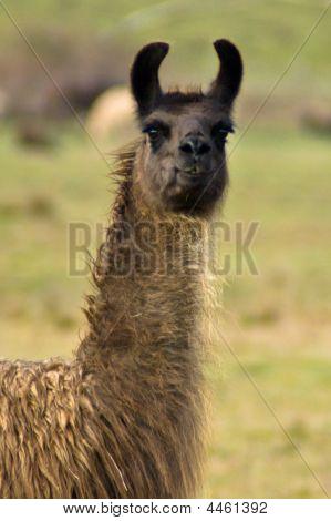 Angry Brown Llama