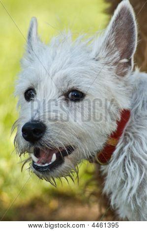 Smiling West Highland Terrier Dog