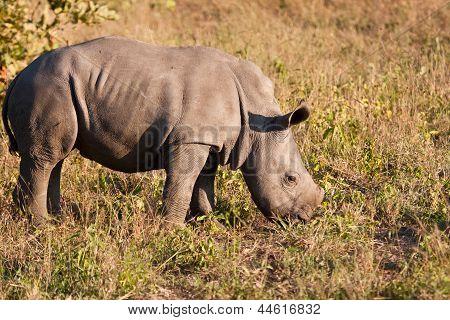 Rhino Standing In Nature Calf