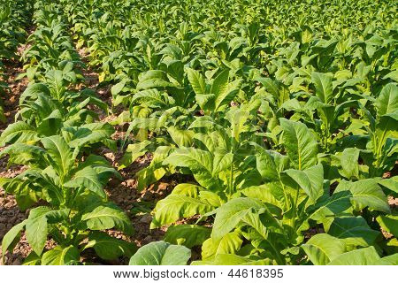 Tobacco plant in the farm