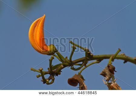 Bastard Teak flower, Flame of the Forest