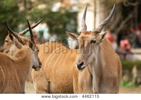 Common Eland, Peace Face