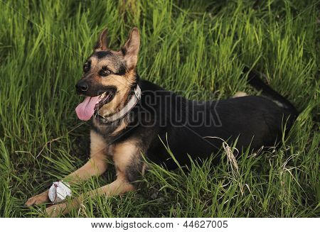 German shepherd in a grass