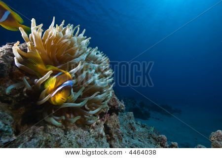 Magnificent Anemone And Anemonefish