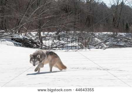 Grey Wolf (Canis lupus) Stalks Viewer On Riverbed