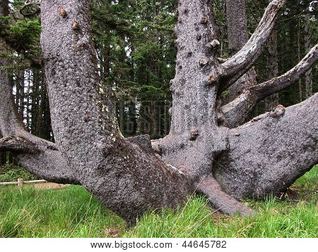 Octopus Tree - Oregon